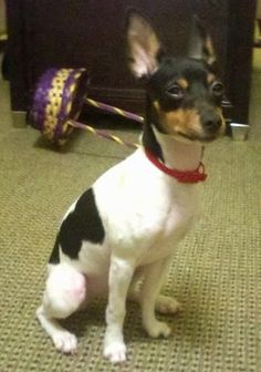 Front side view - A white with black and tan Rat Terrier puppy is wearing a red collar sitting on a tan carpet and it is looking up and to the right. There is a purple and yellow Easter wicker basket behind it. The dog has large perk ears.