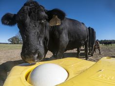 Illustration Photo: Cattle stand on a solid stable cement pad while drinking water from floating ball valve trough at Spring Steel Farm, where owner Ronnie Cook applied and qualified for U.S. Department of Agriculture (USDA) Natural Resources Conservation Service (NRCS) technical and financial assistance Environmental Quality Incentive Program (EQIP) to implement Conservation Practice Standard 561. (credits: USDA Photo by Lance Cheung / Public domain) Financial Assistance, Spring Steel, Natural Resources, Pet Health, Livestock, Photo Illustration, Public Domain, Drinking Water, Cattle
