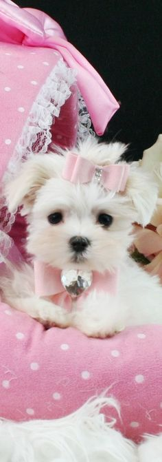 Teacup Maltese and Malterse puppies