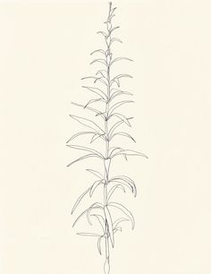 une collecte: Ellsworth Kelly: Plant Drawings