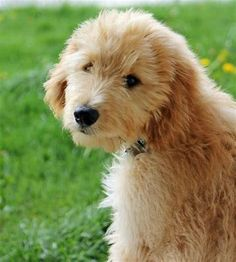 Such a beautiful Goldendoodle