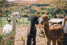 Gal Meets Glam Fall Colors In Vermont - Alpacas