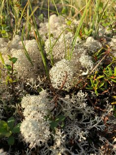 Reindeer Moss, imagine them munching on these nutrient rich fluffs of porous cumulus clouds! Worms Eye View, Arctic, Reindeer, Clouds, Plants, Planters, Plant, Planting, Cloud