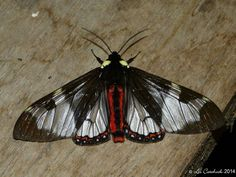 Dysschema marginalis photographed by Les Catchick in Ecuador on 26th October 2014
