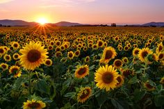 ❤ Get the best Sunflower Wallpaper Desktop on WallpaperSet. Only the best HD background pictures. Sunny Pictures, Feel Good Pictures, Nature Pictures, Sunflowers And Roses, Sunflowers Background, Poppies, Best Hd Background, Background Pictures, Sunflower Pictures