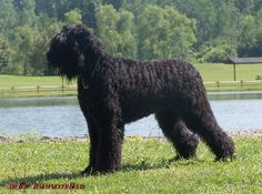 Black Russian Terrier | Origin: Russia