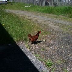 Creed's rooster friend again.