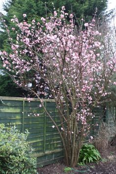 """Viburnum x bodnantense """"Dawn"""". This is highly scented. However, it is 'messy', so would need pruning."""
