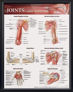 Joints: Upper Extremities anatomy poster shows key bones, muscles, tendons, nerves and arteries. Elbow images show bones and ligaments. Muscles for doctors and nurses.