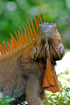 Land iguana - commonly found in trees and on grassy banks near rivers in Costa Rica.