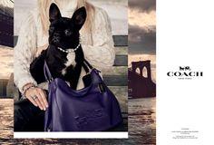 Campanha da Coach com pet de famosos! Aqui, o cachorro da Lady Gaga! www.trendtips.com.br