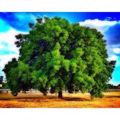 Black Walnut Tree at Nut Tree. Taken by @ekpritchett
