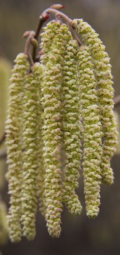 The simple beauty of Nature With this in mind I sallied forth with Inca and camera so I could capture the beautiful hazel (Corylus avellana) festooned with pendulous male catkins and, where exposed to the warmth and light of the sun, the tiny and secretive female flowers appear.