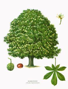 1967 Maronnier Aesculus hippocastrum Planche Botanique Arbres Feuillus Forêts Histoire Naturelle Dendrologie de la boutique sofrenchvintage sur Etsy