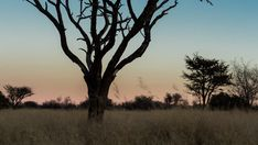 A slow push-in scenic timelapse at sunset of an Acacia tree in the South African Savanna Bushveld, Kalahari desert with lots of Acacia trees and tall grass, dip to black. African Sunset, Acacia, Stock Footage, Sunsets, Dip, Grass, Country Roads, Landscape, Black