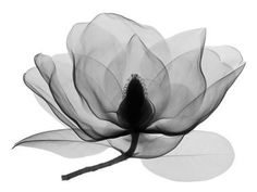 X-ray photography of a Southern Magnolia by artist Don Dudenbostel