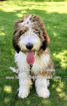 11 Best Sable Bernedoodles Images Bernedoodle Puppy Dogs