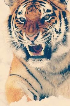#tigerlove #tiger
