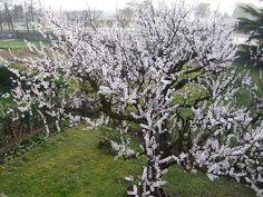 Albicocco in fiore- Cerca con Google