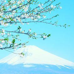 桜と富士さん