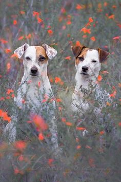 Chad and Isis Maria S. #dog #photography #flowers #jackrussell #terrier