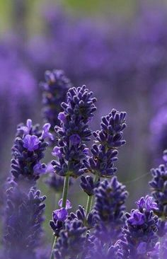 English lavender flowers in in Snowshill, England Lavender Blue, Lavender Fields, Lavender Flowers, Purple Flowers, Beautiful Flowers, Lavander, Colorful Roses, Beautiful Gorgeous, Vegetable Gardening