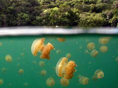 Jellyfish Lake | Flickr - Photo Sharing!