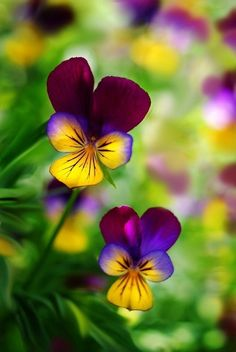Friendly Pansy Faces