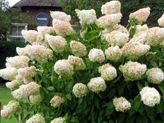 Нydrangea paniculata 'Grandiflora'. Гортензия метельчатая. Зоны USDA 4a-8b. Кустарник до 2 м высотой, с прямыми, редко разветвленными побегами. Цветет с июля по сентябрь душистыми белыми, позднее розовеющими цветками