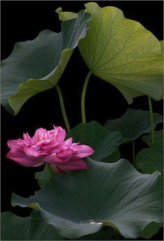 Lotus Flower - IMG_7637 | Lotus Flower - For the best result… | Flickr