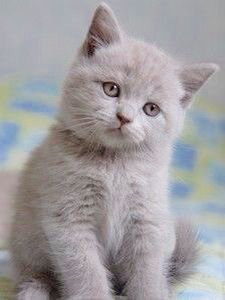 Lilac British Kitten