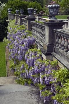 Wisteria, Old Westbury Gardens (open to the public, formerly the estate of John… Beautiful Gardens, Beautiful Flowers, Beautiful Wall, Old Westbury Gardens, Dame Nature, Climbing Vines, Long Island Ny, My Secret Garden, Parcs