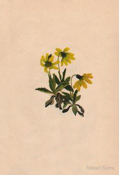 Lake Louise Arnica-Vintage Print-North American Wild Flower-Art Prints-Mugs,Cases,Duvets,T Shirts,Stickers,etc