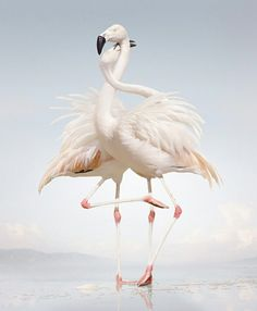 fairy-wren:  chilean flamingos (photo by Simen Johan)