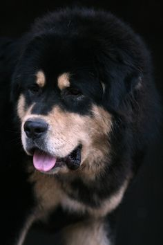 Tibetan Mastiff Dogs #dog #mastiff #animal