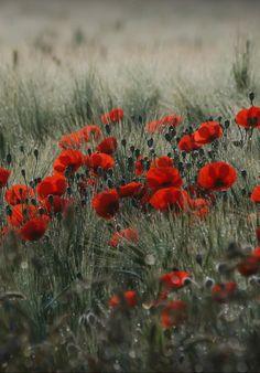 Poppy field in the dewy morning by Franka Detlof