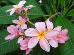 plumeria flowers | Wallpaper Title: Pink Plumeria Flowers Wallpapers 36859 Wallpaper ...