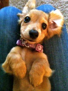 Dachshund. So cute!