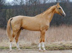 Akhal-Teke stallion Damir-Geli