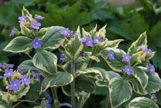 Brunnera is an easy to grow shade plant with striking blue flowers and equally lovely heart-shaped, variegated leaves. Here's how to care for them.