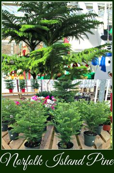 How To Care For A Norfolk Island Pine!