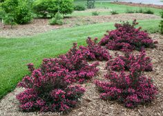 """Spilled Wine® - Weigela florida 18-24Hx36""""W?  Space 3' I like the massed look. Could see drifts of plants."""