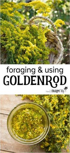 Foraging & Using Goldenrod for natural health herbal medicine home remedies Healing Herbs, Medicinal Plants, Natural Healing, Holistic Healing, Natural Home Remedies, Herbal Remedies, Health Remedies, Cooking With Turmeric, Edible Wild Plants