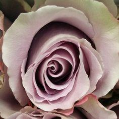 Grey knights.  #perrifarms #rose #roses #ecuador #flowerstagram #flower #flowers #weddings #weddings #floral #florist #florists