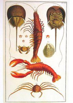 Lobster Scientific Illustration