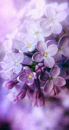 Lilac – the spring – color-type bloom! Lilac (color pass numbers Kerstin Tomancok Color, type, style & image consultation - All About My Flower, Purple Flowers, Beautiful Flowers, Lavender Flowers, Spring Flowers, Beautiful Things, Bloom, Lilac Blossom, Spring Blossom