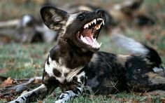wild canines - Google Search
