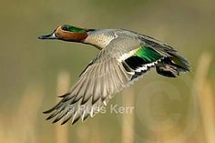 Green Winged Teal Wing Images