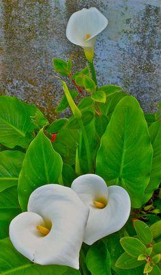 Calla Lilies calla lili