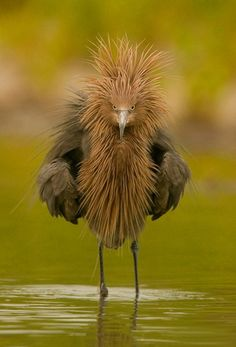 Wilson's bird-of-paradise Reddish Egret is a small heron ~ Wild for Wildlife and Nature Green Turtle. See Over 2500 more animal pictures o. Pretty Birds, Love Birds, Beautiful Birds, Animals Beautiful, Unusual Animals, Weird Birds, Exotic Animals, Funny Birds, Pretty Flowers